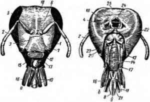 Голова рабочей пчелы с хоботком