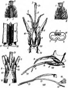 Строение ротовых органов рабочей пчелы