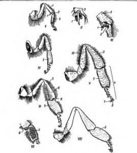 Строение ножек пчел