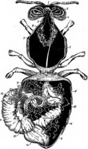Пищеварительный канал и слюнные железы рабочей пчелы