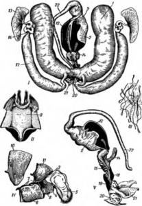 Половые органы трутня