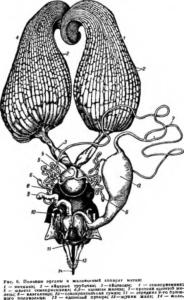 Половые органи и жалоносный аппарат матки пчелы